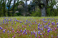 Castilleja exserta (formerly Orthocarpus purpurascens), Purple Owl's clover and Lupin wildflowers in grassland meadow, Los Padres National Forest, California near Fort Hunter Liggett