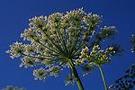 Giant hogweed umbel Heracleum mantegazzianum flower looking from below against blue sky
