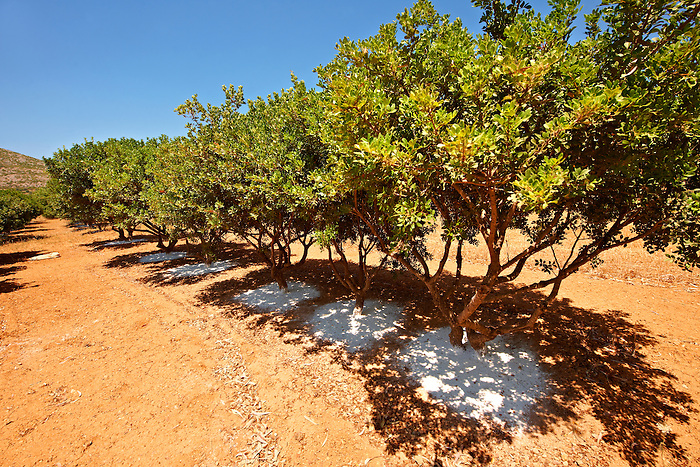 Mastic Trees being prepared for the mastic harvest by having fresh white earth spreads under the tress to catch falling mastic resin from cuts in the trees bark. Mastichochoria area of Chios Island, Greece.