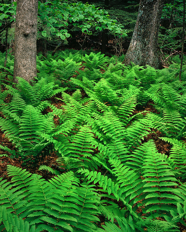 Field of ferns in White Oak Canyon; Shenandoah National Park, VA