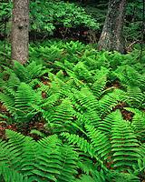 Field of ferns in White Oak Canyon; Shenandoah National Park, VA