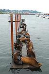 CA sea lions in Astoria