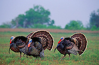"Rio Grande Wild Turkey toms strutting during spring mating season.  Texas.  (""Rio Grande"" is one of several wild turkey subspecies.)"