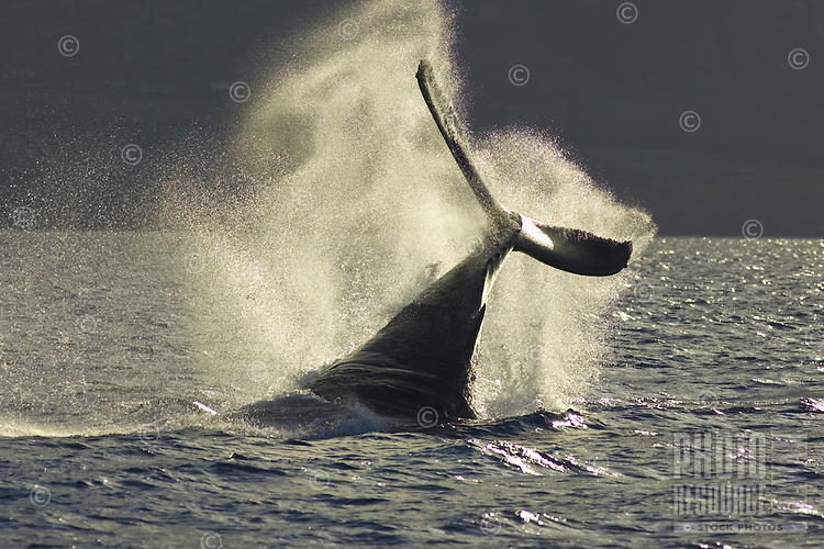 A humpback whale slaps its tail near Lahaina.