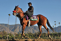 South Floyd, trained by Doug O'Neill,exercises in preparation for the upcoming Breeders Cup at Santa Anita Park on October 30, 2012.