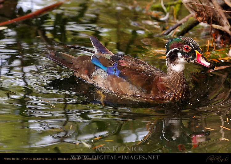 Wood Duck Juvenile Breeding Male Hs5873 Vlgjpg Digital Images By