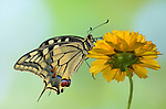 Swallowtail Butterfly, Papilio machaon, resting on yellow flower.United Kingdom....