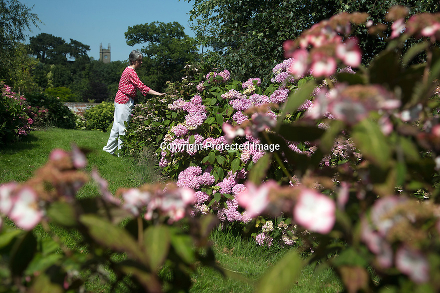 """20/06/16<br /> <br /> Alison Grimwood prunes the hydrangea with Darley Abbey church in the background.<br /> <br /> Tucked away in a hidden walled garden of an inner-city public park, the UK's largest hydrangea collection is putting on its best display ever, following the sudden heatwave after several months of rain.<br /> <br /> Full story:  <br /> <br /> https://fstoppressblog.wordpress.com/britains_biggest_hydrangea_garden/<br /> <br /> .And what used to be a flower traditionally associated with """"granny's cottage garden"""" is blooming back into fashion thanks to the rising trend for all things shabby chic and retro-styled.<br /> <br /> There are more than 600 individual hydrangea bushes with a dozen or so different varieties, planted in Derby's Darley Abbey park, formerly part of an estate belonging to the nearby cotton mills.<br /> <br /> All Rights Reserved, F Stop Press Ltd. +44 (0)1773 550665"""