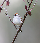 Chipping sparrow perched in a speckled alder.