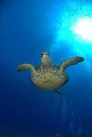 Photo of a Hawaiian green sea turtle swimming in the warm waters of makena Maui Hawaii.