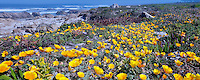 California Poppies and ocean on 17 Mile Drive. Pebble Beach, California