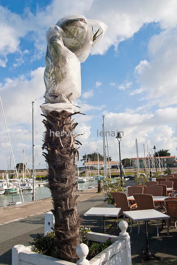 Protection contre le froid d'un palmier de Chine en bac (Trachycarpus fortunei) // Protection against the cold of a Chusan Palm or Windmill Palm (Trachycarpus fortunei).