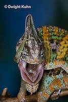 CH49-534z  Veiled Chameleon juvenile climbing on male, Chamaeleo calyptratus