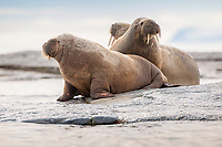 Atlantic walruses, Odobenus rosmarus rosmarus, at the rocky waterfront, Svalbard, Spitsbergen, Norway, Europe