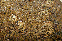 Fossil Crinoids from the Late Cretaceous Period, Niobrara Formation, Kansas, AGPix_0047 .