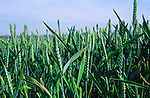 AT5BW0 Side view of young green wheat crop Suffolk England