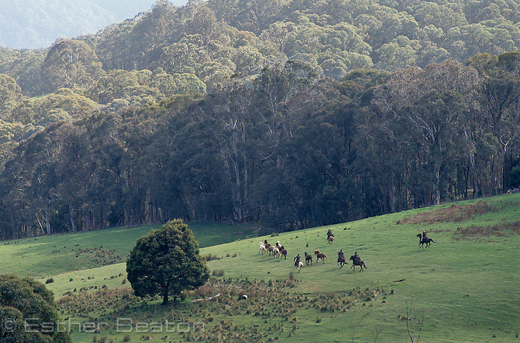 """Stockmen chasing horses across a """"high country"""" meadow. Mt Buller, Snowy Mountains, Victoira"""