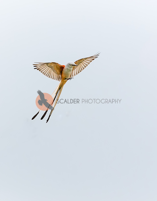 Scissor-Tailed flycatcher, landing with  feet down