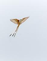 Scissor-Tailed flycatcher, landing with  feet down