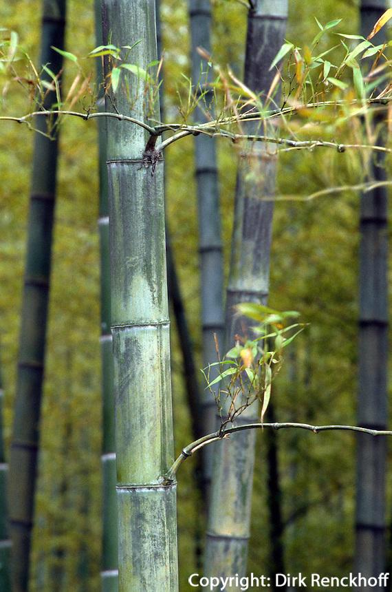 Bambus bei der Jadequelle in Hangzhou, China