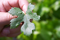Vine leaf that is not V. Vinifera, from a shoot from the root stock le cellier des princes chateauneuf du pape rhone france