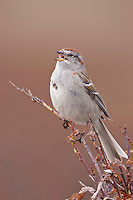 American Tree Sparrow - Spizella arborea - Adult breeding