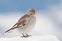 Snowfinch (Montifringilla nivalis) in winter, Karwendel Mountains, Tyrol, Austria, Europe
