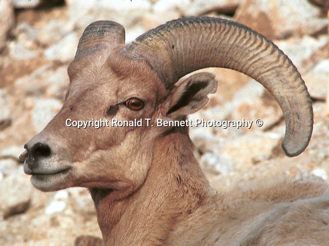 Bighorn sheep, ovis canadensis, sheep, Bering land bridge, Native Americans, Dall Sheep, Animal, Sierra Nevada Bighorn sheep, Peninsular Bighorn Sheep,  mountain sheep, dall sheep,Animal, wild animals, domestic animals,  Fine Art Photography, Ronald T. Bennett (c) Fine Art Photography by Ron Bennett, Fine Art, Fine Art photography, Art Photography, Copyright RonBennettPhotography.com ©