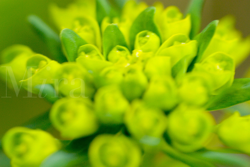 Euphorbia,commonly called spurge. Euphorbia.epithymoides , E. robbiae.