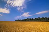 wheat<br /> Francis<br /> Saskatchewan<br /> Canada