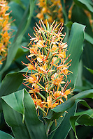 Hedychium Coccineum 'Tara'