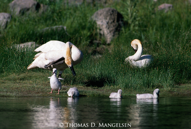 Trumpeter swans with four cygnets on bank of Gardiner River in Yellowstone National Park