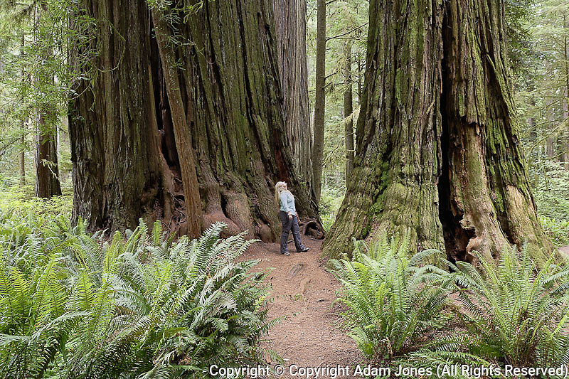 Woman admiring Redwood trees, Sequoia sempervirens, Redwood National Park, California