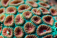 Fluorescent Hard Coral, Diploastrea heliopora, Alam Batu, Bali, Indonesia, Pacific Ocean