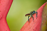 Amazon Poison Dart Frog (Dendrobates ventrimaculatus) in Peruvian Amazon on heliconia.