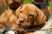 Bob, ANIMALS, REALISTISCHE TIERE, ANIMALES REALISTICOS, dogs, photos+++++,GBLA4320,#a#, EVERYDAY