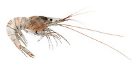 Humpback Prawn - family Hippolytidae
