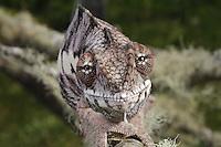 Panther Chameleon (Chamaeleo pardalis)