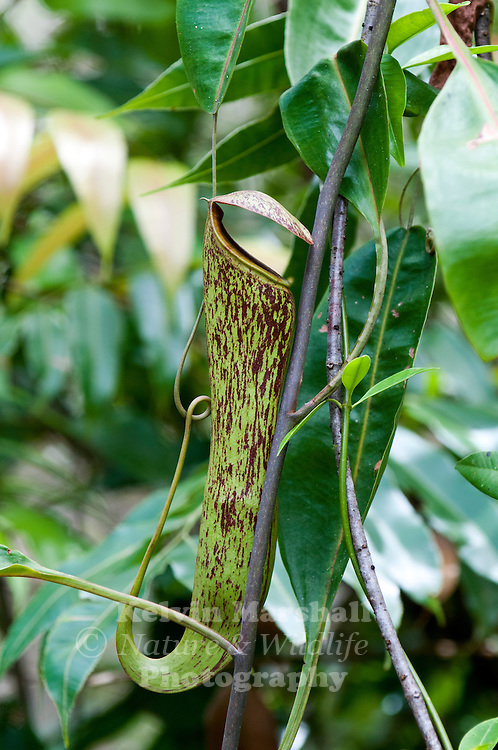 The Nepenthes, popularly known as tropical pitcher plants or monkey cups, are a genus of carnivorous plants in the monotypic family Nepenthaceae. The genus comprises roughly 140 species, numerous natural and many cultivated hybrids.