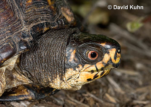 1002-0806  Close-up of Head of Male Eastern Box Turtle, Terrapene carolina © David Kuhn/Dwight Kuhn Photography.