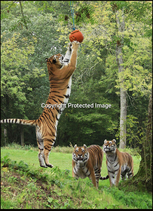 BNPS.co.uk (01202 558833)<br /> Pic: IanTurner/BNPS<br /> <br /> Staff at Longleat Safari Park in Wiltshire turned Halloween fun into a mental and physical exercise for their Amur tigers yesterday.<br /> <br /> The tasty pumpkins were placed just out of reach to test the big cats cunning - but the agile felines soon managed to catch their prey.