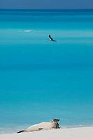 Hawaiian monk seal, Neomonachus schauinslandi, Critically Endangered Species, Sand Island, Midway, Atoll, Midway Atoll National Wildlife Refuge, Papahanaumokuakea Marine National Monument, Northwest Hawaiian Islands ( Central North Pacific Ocean )