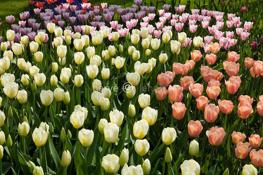 Hollande, région des champs de fleurs, Lisse, Keukenhof, massif de tulipes en spirales avec les tulipes blanches 'Françoise', roses saumon 'Apricot Beauty', roses au fond 'Gabriella' // Flowerbed with white tulips 'Françoise', salmon 'Apricot Beauty', pinck away 'Gabriella'