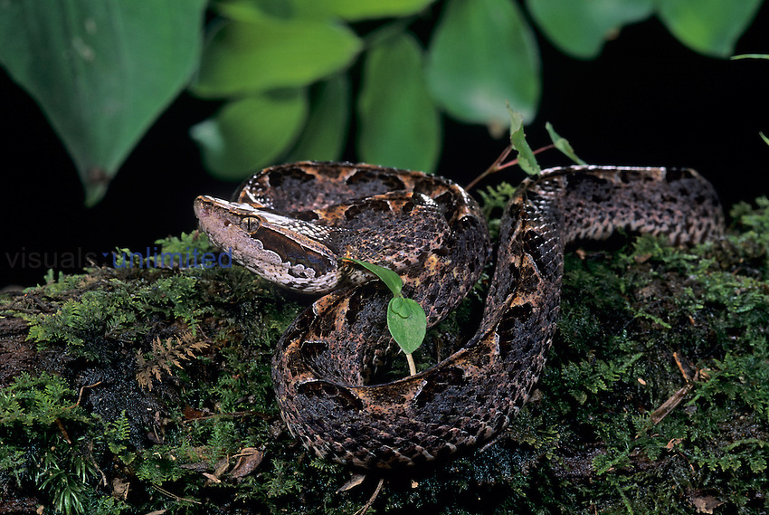 Malayan Pit-Viper ,Calloselasma rhodostoma, Thailand