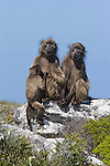 Chacma baboons, Papio cynocephalus ursinus, at coast, Table Mountain National Park, South Africa