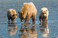 Alaskan brown bear sow and cubs clamming along a beach in Lake Clark National Park, Alaska