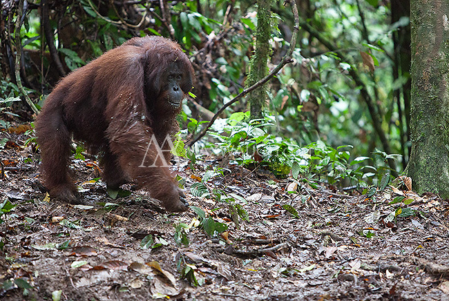 I was fortunate to see six wild orangutans during my visit to the Borneo Rainforest Lodge.  This is Abu, the dominant male of the region, who was around 35 years old at the time.
