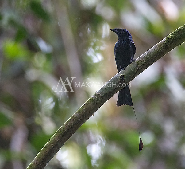 This greater racket-tailed drongo was missing one of its rackets.
