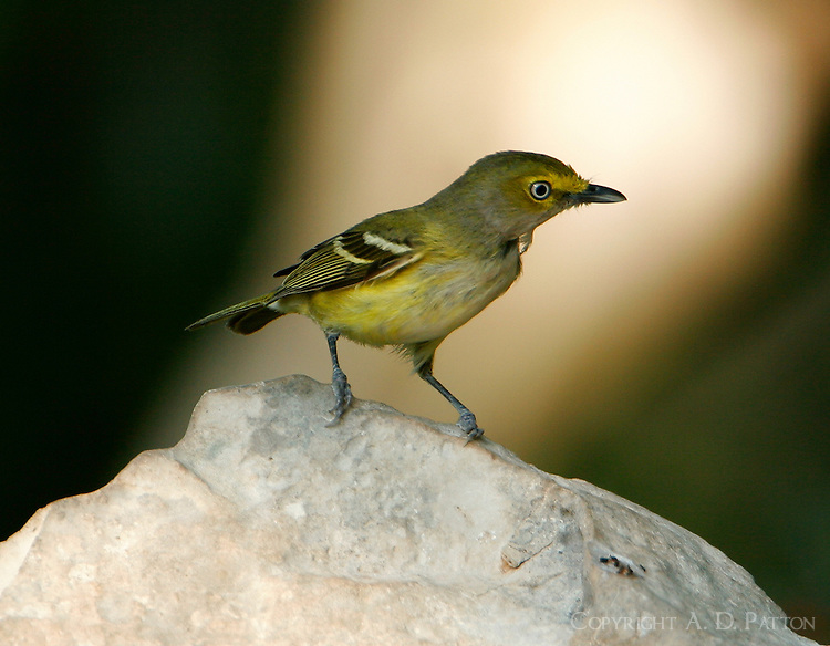 White-eyed vireo adult on rock