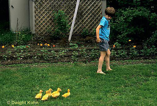 DG10-068x  Pekin Duck - six day old ducklings following boy -  imprinting